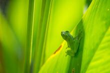 Green Treefrog Near Big Cypress Bend Boardwalk Trail