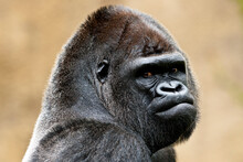 Goma, A Captive Nineteen-year-old Male Western Lowland Gorilla At The Zoo, California