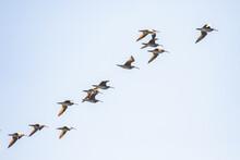 Flock Of Whimbrel Shorebirds Paint A Diagonal Line