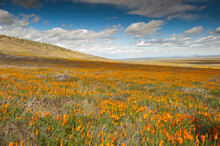 Field Of Poppies In California
