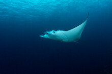 A Manta Ray Cruises The Waters Of The Solomon Islands.