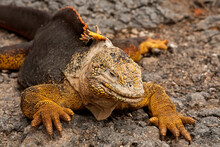 A Galapagos Land Iguana Crawls Across Warm Rocks. South Plazas Island. The Galapagos Islands, Ecuador.