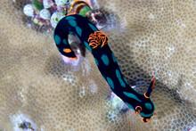 A Nembrotha Nudibranch On Coral.