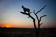 Caracal standing on the limb of a dead tree, silhouetted by the setting sun in Namibia.