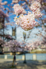 Cherry Blossoms At The Governor Tom McCall Waterfront Park