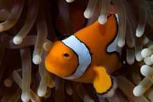 A Clownfish In An Anemone.