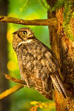 Anacortes Community Forest Lands, Washington: A Great Horned Owl Portrait In Warm Sunset Light.