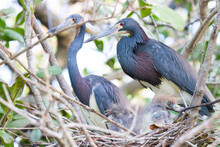 Tri Colored Herons And Chicks Photographed In The Everglades Watershed Within Big Cypress National Preserve, Florida.