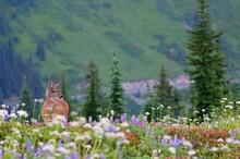 Lone Deer Grazing In A Wildflower Meadow, Mount Rainier National Park, Washington, USA.
