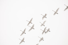 Migrating Tundra Swans Fly Over Glacier National Park, Montana.