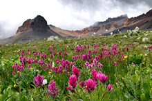Indian Paintbrush In Full Bloom Along The Ice Lakes Trail In Colorado.