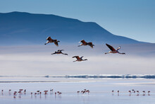 A Small Flock Of Pink Andean Flamingos Take Flight Above The High-altitude Laguna Colorada In The Sud Lipez Region Of Southwestern Bolivia.