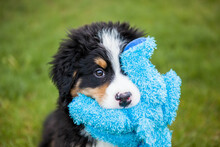 Bernese Mountain Dog Puppy Playing And Holding Blue Stuffed Toy In Mouth,