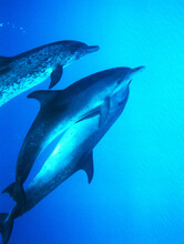 Grand Bahama Is., Bahamas: Two Atlantic Spotted Dolphin Lovers Swim Together Facing One Another. Third Swims Along As Companion