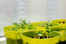 Planting Seedlings Indoors. Homemade Arugula, Radish, Basil In Plastic Pots. Healthy Organic Food Concept. Gardening On A Balcony Or Greenhouse In Early Spring. Close-up.