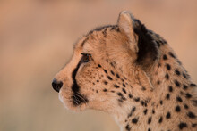 A Cheetah Wanders Through The Dry Grass In A Large Pan Area In Namibia In The Late Afternoon.