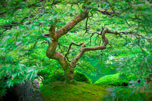 A Japanese Maple Shows Off Its Summer Green Color At The Portland (Oregon, USA) Japanese Garden.