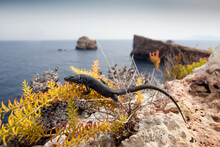 A Black Lizard On Bleda Plana Perches On A Small Plant. No One Knows Why The Lizards On This Small Island Are All Black.