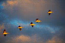 Australian Pelicans Take Flight In The Evening Light Against Colorful Sky.
