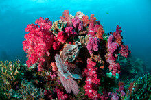 Soft Corals On The Reefs Of Fiji.