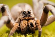 Captive Wolf Spider, Lycosidae. North America.