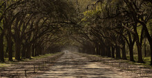 Live Oak Trees Graced With Spanish Moss Create An Archway Over A Dirt Road With A Single Car Heading Towards The Viewer.