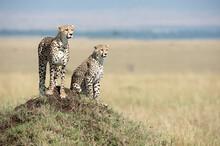 A Female Cheetah And Her Sub-adult Cub On A Termite Mound In The Masai Mara.