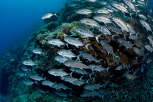 A School Of Jacks Cover A Reef In The Solomon Islands.