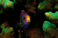 Head Of A King Angelfish In The Middle Of A Coral Reef, Sacramento, Ixtapa, Mexico.