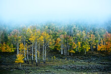A Grove Of Aspen Changing Color Near Telluride Colorado.