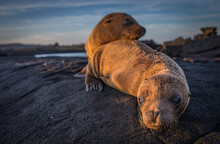 Two Galapagos Sea Lion Pups At Play In The Galapagos Islands.