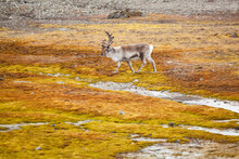 A Male Reindeer (Rangifer Tarandus) Drags A Rope Caught In Its Antlers On The Coast In Hornsund, Svalbard.
