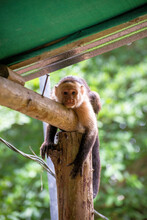 White Faced Capuchin Monkeys In Trees And In Town In Costa Rica.