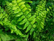 Variegated Boston Tiger Fern Plant Leaves Closeup