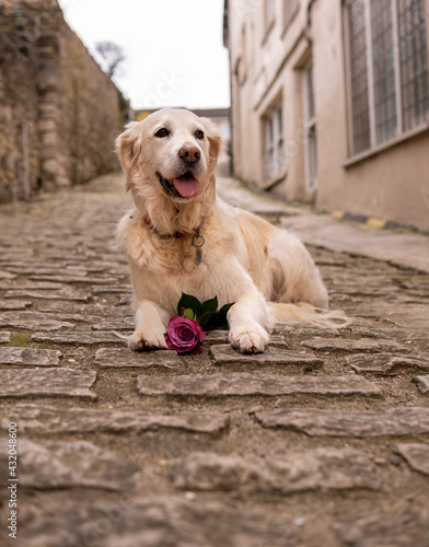 Fotografie, Obraz Happy dog with rose on cobble stones