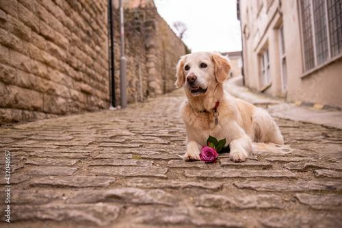Fototapeta Happy dog with rose on cobble stones
