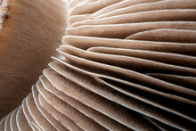 Close Up Of Mushroom Gills