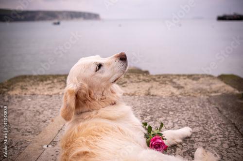 Fototapeta Pet golden retriever dog overlooking bay with rose