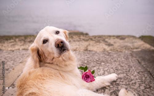 Obraz na plátně Pet golden retriever dog overlooking bay