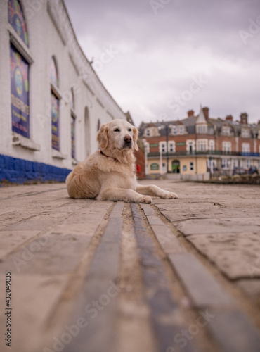 Fototapeta Pet golden retriever dog at seafront laying on track