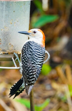 A Colorful Red-bellied Woodpecker Clinging To A Bird Feeder In A Garden.