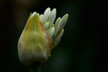 Flower Opening, White Agapanthus Bud Blooming, Blurry Background