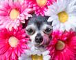 Leinwandbild Motiv cute chihuahua surrounded by a bunch of daisies