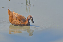 Brown Duck Swims In Dirty Water