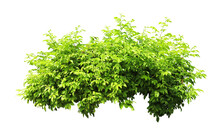 Tropical  Shrub Bush Tree Isolated  Plant With Clipping Path.