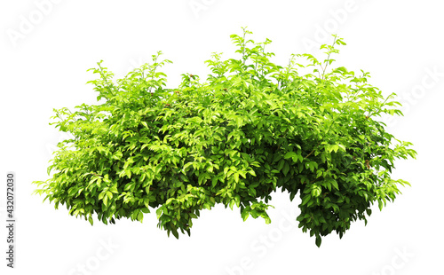 Canvas Print Tropical  shrub bush tree isolated  plant with clipping path.
