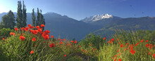 Red Poppies Flowers Blooming In A Meadow With Snowy Peak Mountain
