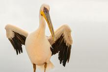 Close Up Of White African Pelican With Yellow Beak, Pelican With Open Wings, Pelecanus Crispus, Pelican With Open Wings, Wildlife Scene From African Nature