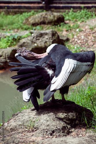 Naklejka premium Vulture