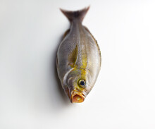 Isaki Fish Also Known As Threeline Grunt (Parapristipoma Trilineatum) Used As Sashimi Fish For Sushi. Isolated On Neutral White. Has Open Mouth.
